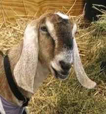 images.jpg goat