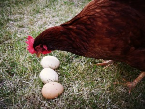 chicken counting eggs